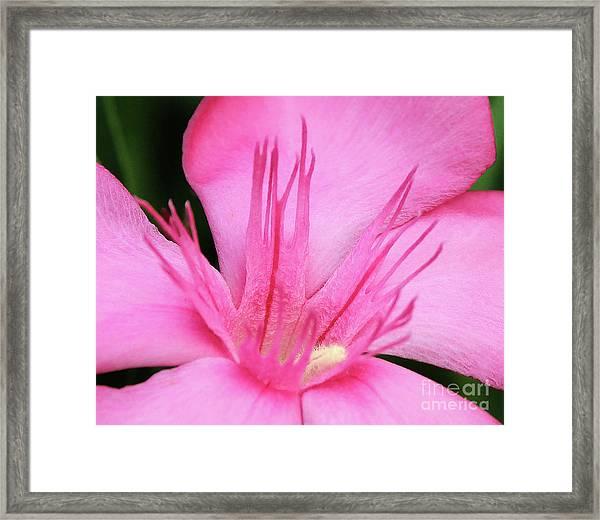 Oleander Professor Parlatore 3 Framed Print