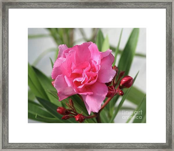 Oleander Splendens Giganteum 1 Framed Print