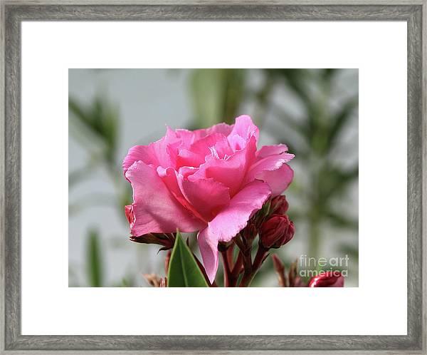 Oleander Splendens Giganteum 2 Framed Print