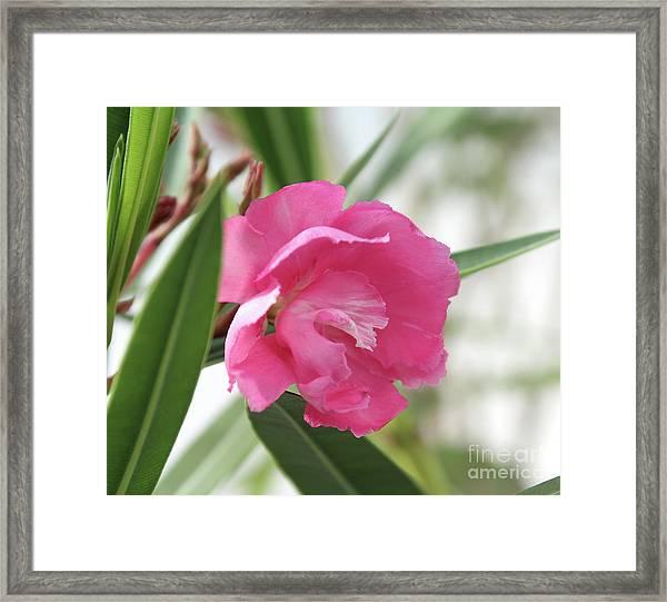 Oleander Splendens Giganteum 3 Framed Print