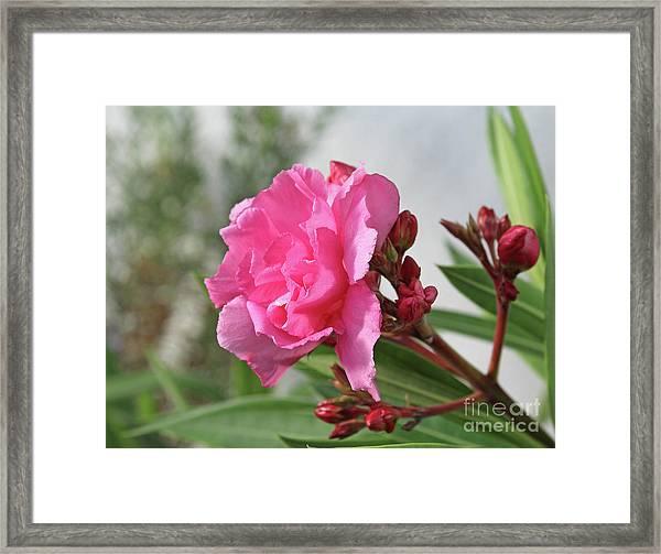 Oleander Splendens Giganteum 4 Framed Print