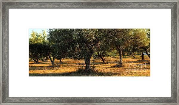 Olive Grove 3 Framed Print