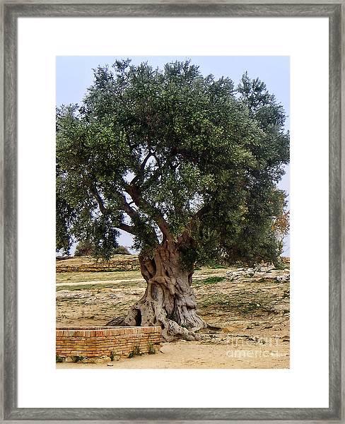 Olive Tree Sicily Framed Print