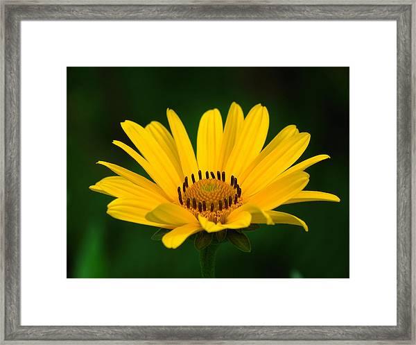 One Daisy Framed Print