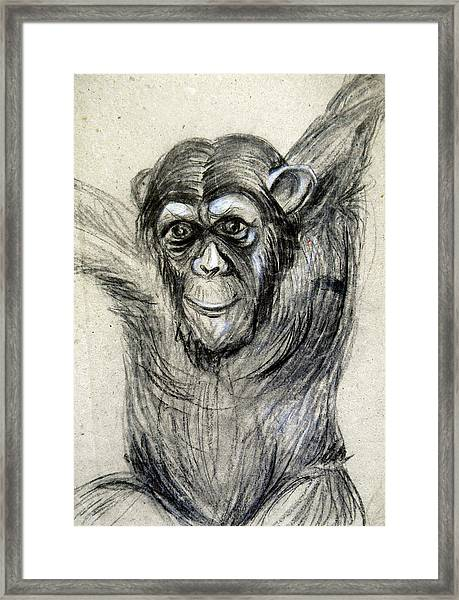 One Of A Kind Original Chimpanzee Monkey Drawing Study Made In Charcoal Framed Print