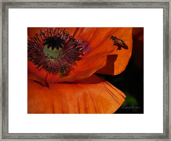 One Poppy And A  Bee Framed Print