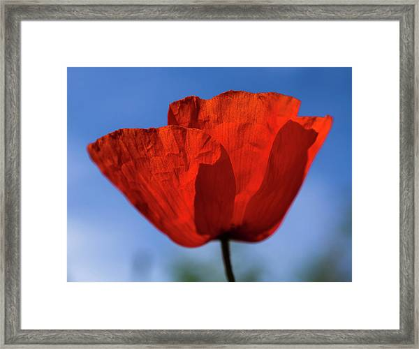 One Red Poppy Framed Print