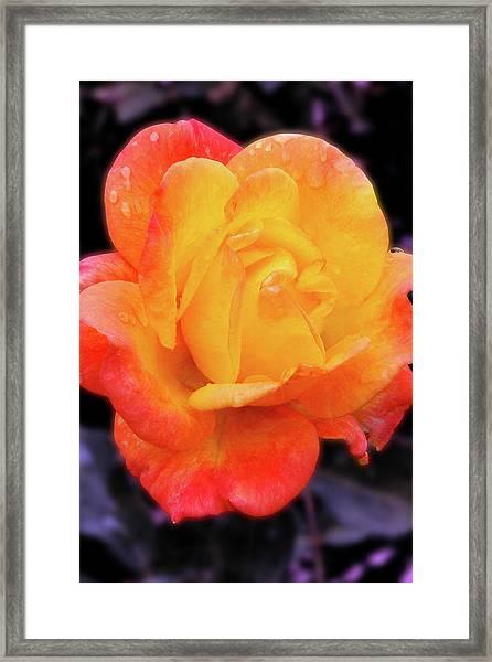 Orange And Violet Rose Framed Print