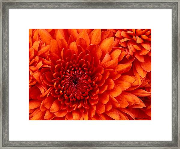 Orange Bloom Framed Print
