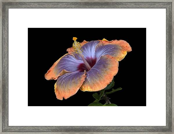 Orange-blue Hibiscus Framed Print