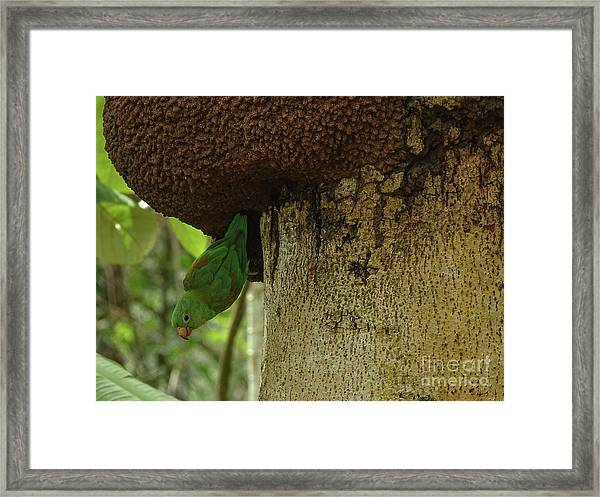 Orange -chinned Parakeet  On A Termite Mound Framed Print