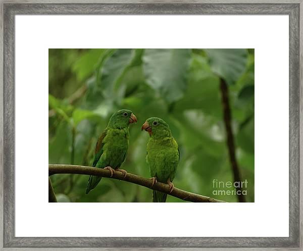 Orange-chinned Parakeets-  Framed Print