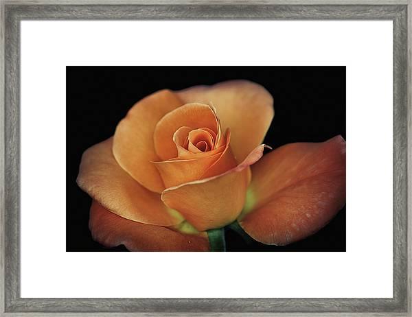 Orange Cream Framed Print