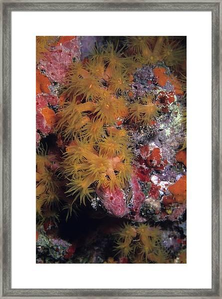 Orange Cup Coral And Sponges Framed Print
