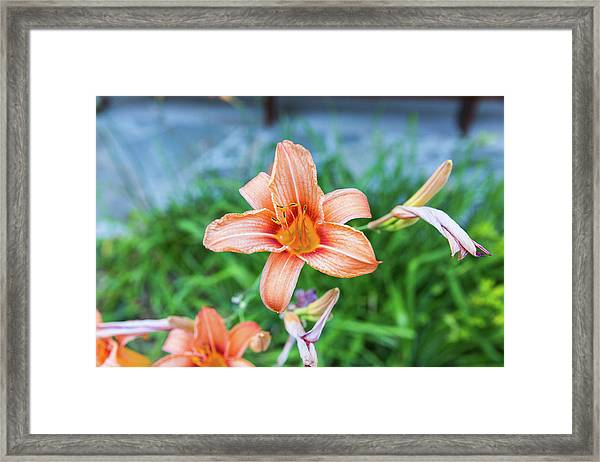 Framed Print featuring the photograph Orange Daylily by D K Wall