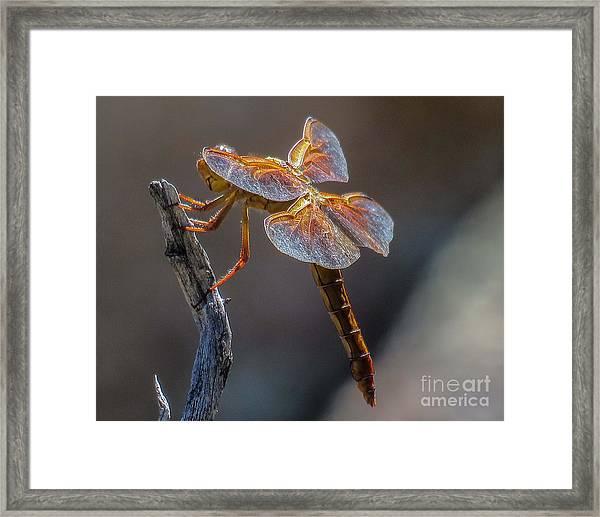 Dragonfly 2 Framed Print