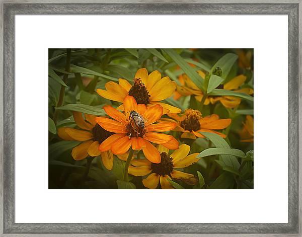 Orange Flowers And Bee Framed Print