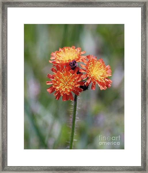 Orange Hawkweed Framed Print