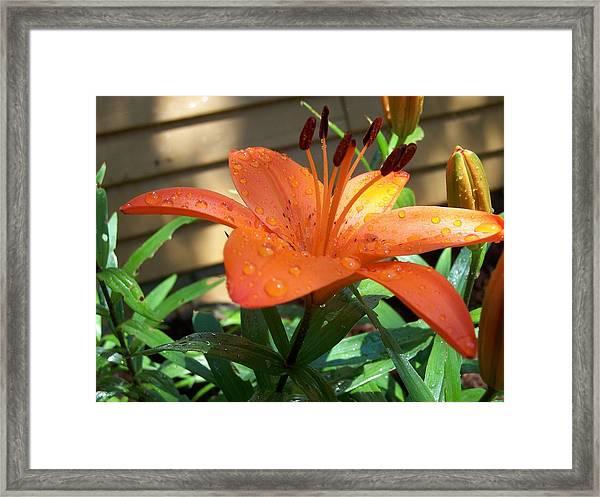 Orange Lilly Framed Print
