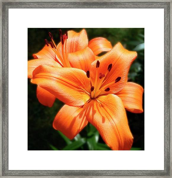 Orange Lily Joy Framed Print