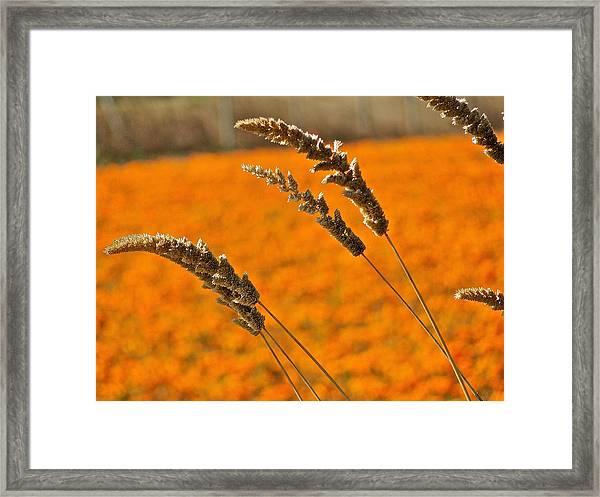 Orange Marigolds Framed Print by Liz Vernand