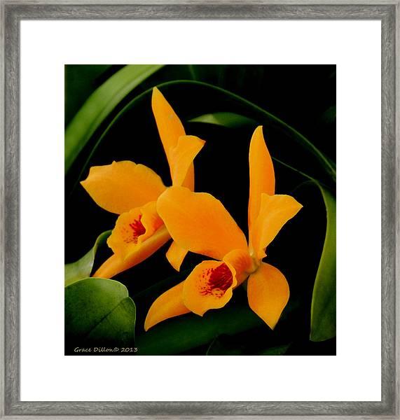 Orange Orchids Framed Print