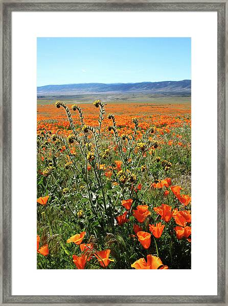 Orange Poppies And Fiddleneck- Art By Linda Woods Framed Print