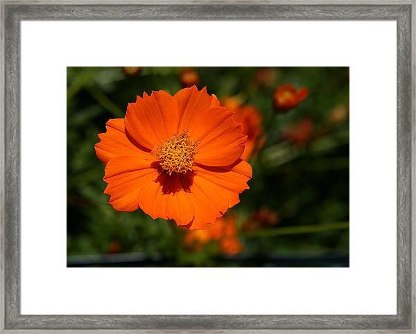 Orange Sulfur Cosmos Flower Framed Print