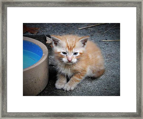Orange Tabby Shorthair Kitten Framed Print