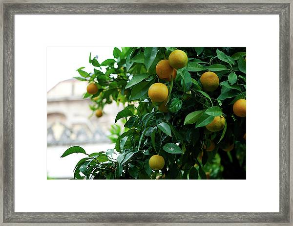 Framed Print featuring the photograph Orange Tree by Lorraine Devon Wilke