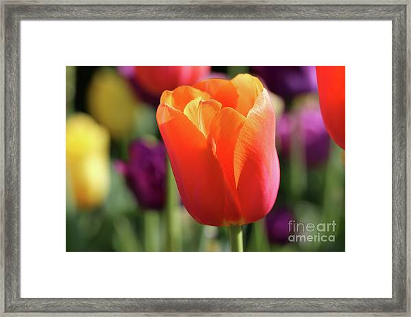 Orange Tulip In Franklin Park Framed Print