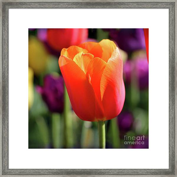 Orange Tulip Square Framed Print