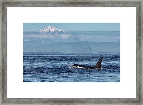 Framed Print featuring the photograph Orca Male With Mt Baker by Randy Hall