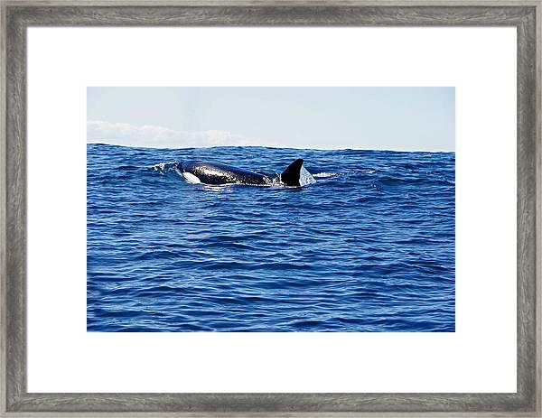 Orca Framed Print