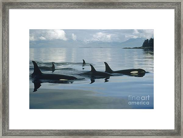Orca Pod Johnstone Strait Canada Framed Print