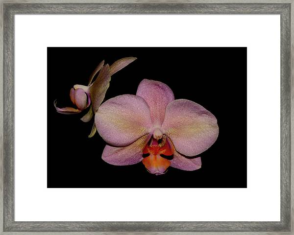 Orchid 2016 3 Framed Print