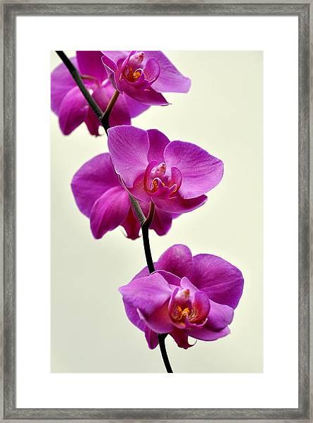 Orchid 26 Framed Print