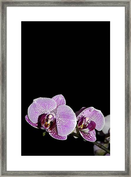 Orchid Blooms Framed Print