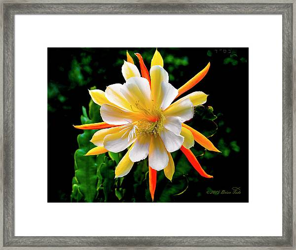 Orchid Cactus Epiphyllum Framed Print
