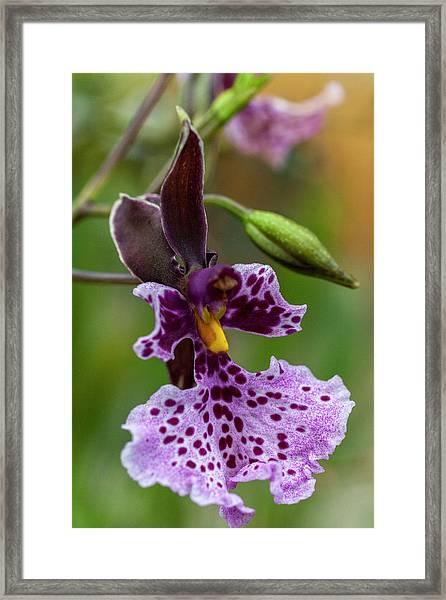 Orchid - Caucaea Rhodosticta Framed Print