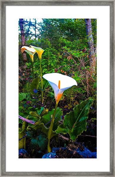 Oregon Wild Calla Lilies Framed Print