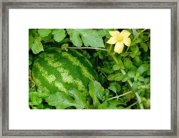 Organic Watermelon Framed Print