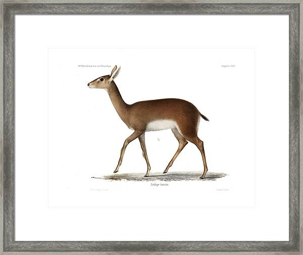 Framed Print featuring the drawing Oribi, A Small African Antelope by J D L Franz Wagner