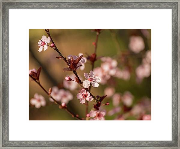 Purple Leaf Sandcherry Blossoms 2 Framed Print