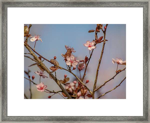 Purple Leaf Sandcherry Blossoms Framed Print