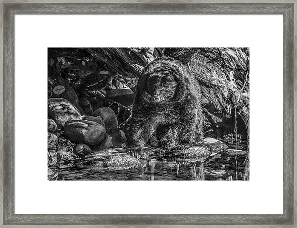 Oservant Black Bear  Framed Print