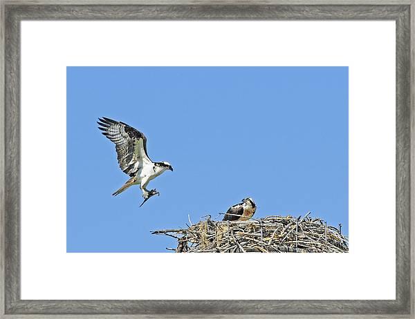 Osprey Brings Fish To Nest Framed Print