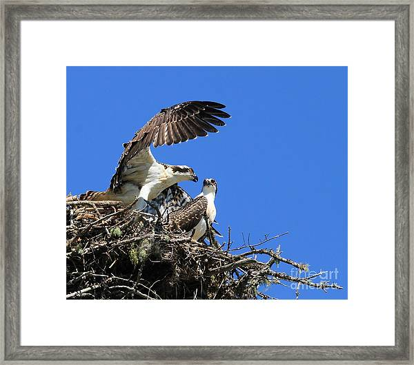 Osprey Chicks Ready To Fledge Framed Print