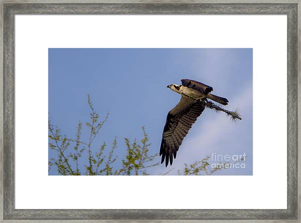 Osprey Collecting Sticks Framed Print