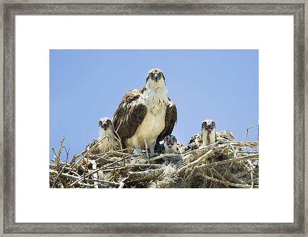 Osprey Family Portrait Framed Print
